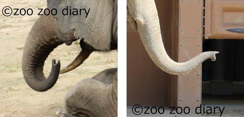アフリカゾウとアジアゾウ