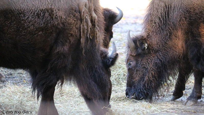 ブロンクス動物園 バイソン