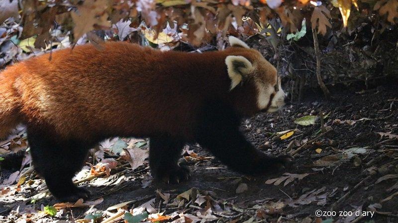 ブロンクス動物園 レッサーパンダ