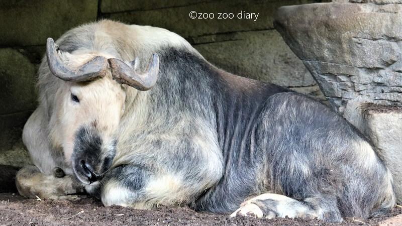 サンディエゴ動物園 ゴールデンターキン