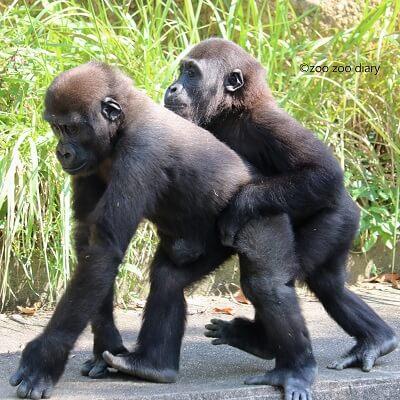 東山動植物園 ゴリラ キヨマサとアニー