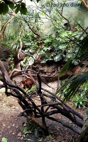 ブロンクス動物園 キノボリカンガルー