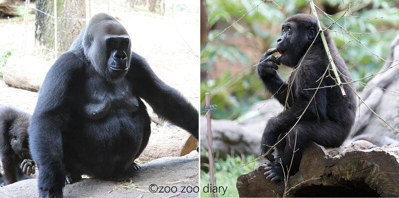上野動物園 ニシローランドゴリラ 親子
