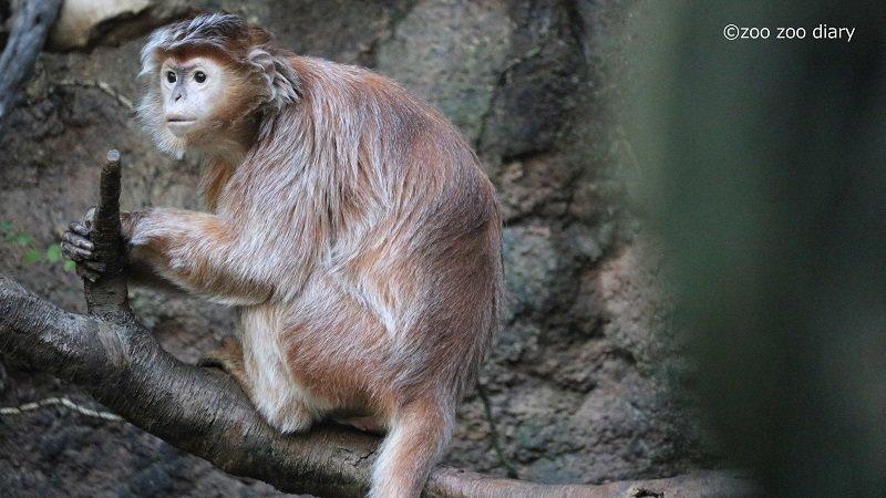 ブロンクス動物園 ジャワルトン ラングール