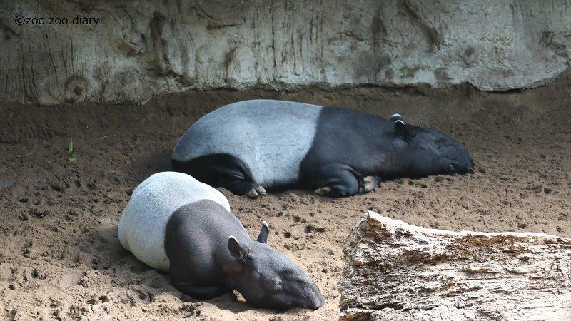 ブロンクス動物園 マレーバク