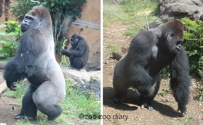 上野動物園 ゴリラ ハオコ上野動物園 ゴリラ ハオコ