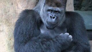 上野動物園 ゴリラ ハオコ