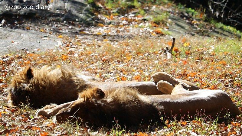 ブロンクス動物園 ライオン
