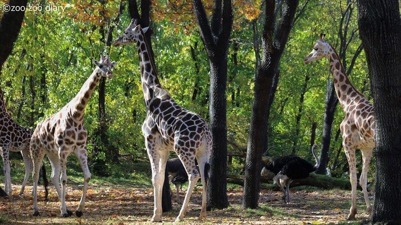 ブロンクス動物園 キリン ダチョウ