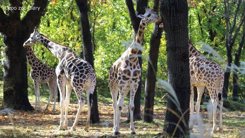 ブロンクス動物園 キリン