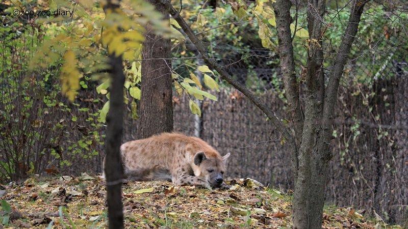 ブロンクス動物園 ブチハイエナ