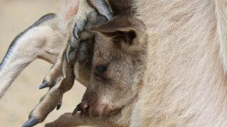 バイオパーク カンガルーの赤ちゃん