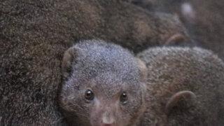 ブロンクス動物園 コビトマングース