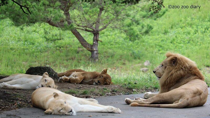 姫路セントラルパーク ライオン