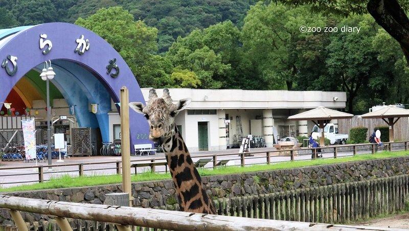 平川動物公園 マサイキリン