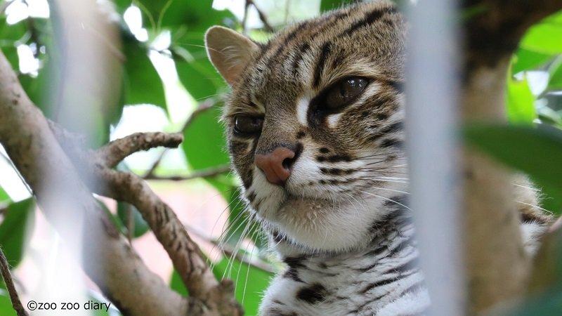 平川動物公園 ベンガルヤマネコ
