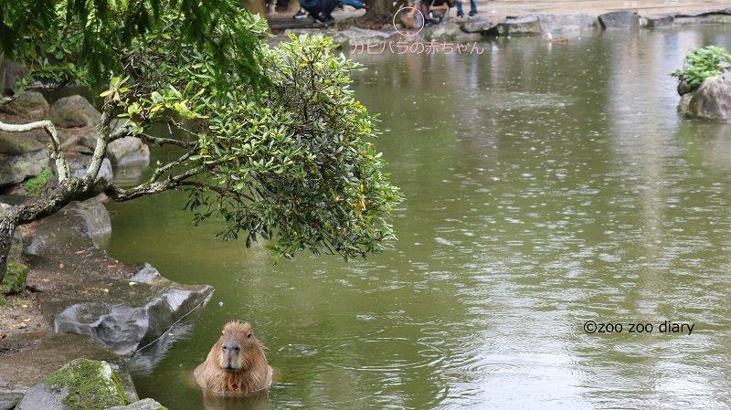 長崎バイオパーク カピバラの池