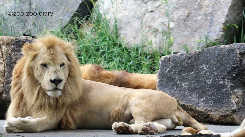 姫路セントラルパーク ホワイトライオン