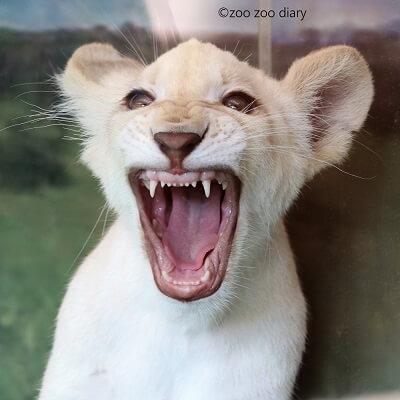 姫路セントラルパーク ホワイトライオン 赤ちゃん
