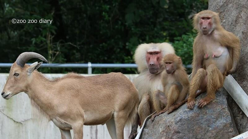 平川動物公園 マントヒヒ バーバリーシープ