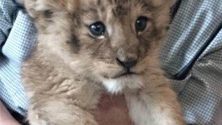 アフリカンサファリ ライオン 赤ちゃん