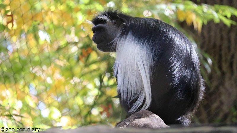 ブロンクス動物園 アンゴラコロブス