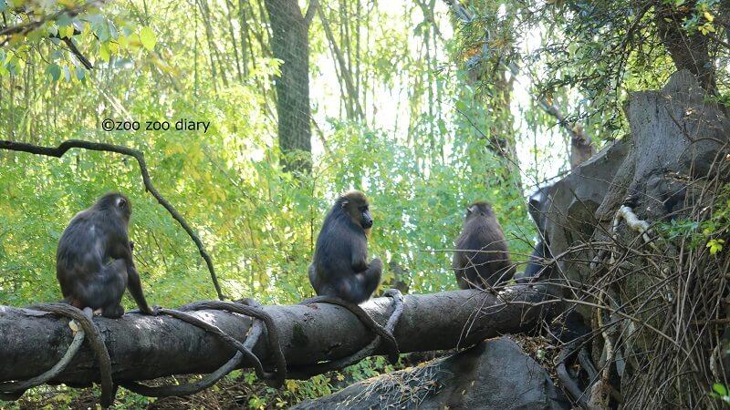 ブロンクス動物園 マンドリル