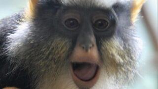 ウォルフグエノン ブロンクス動物園