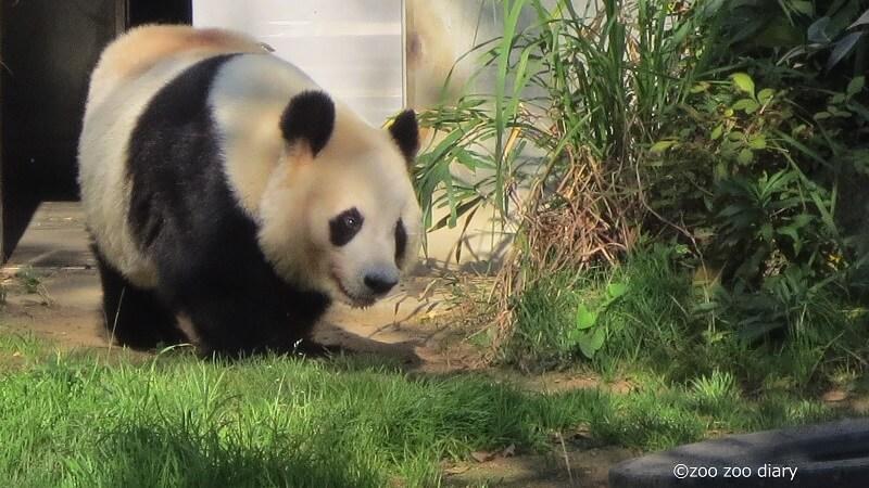 神戸市王子動物園 ジャイアントパンダ