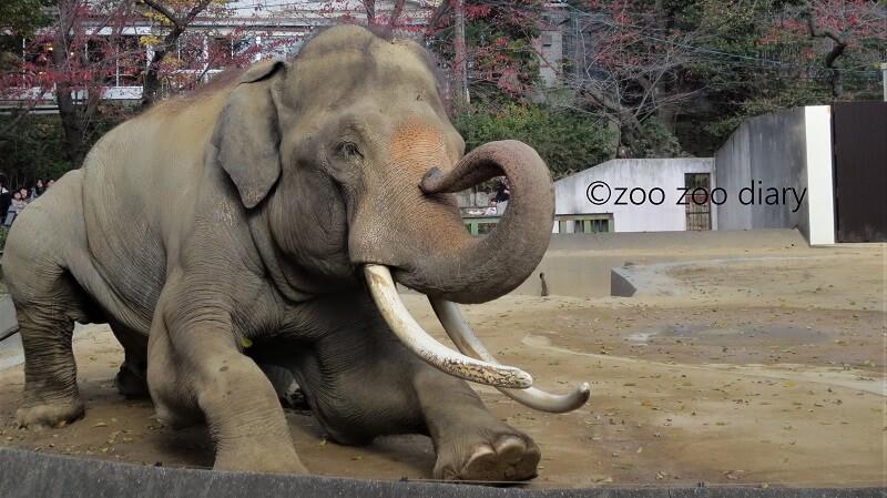王子動物園 インドゾウ マック