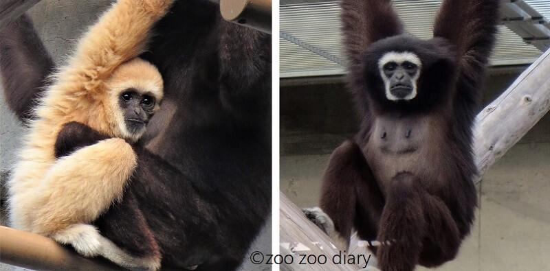 王子動物園 テナガザル