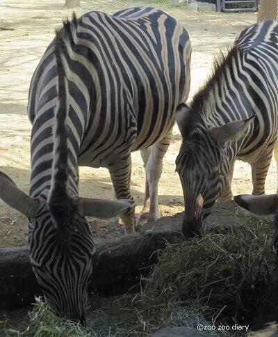 王子動物園 シマウマ