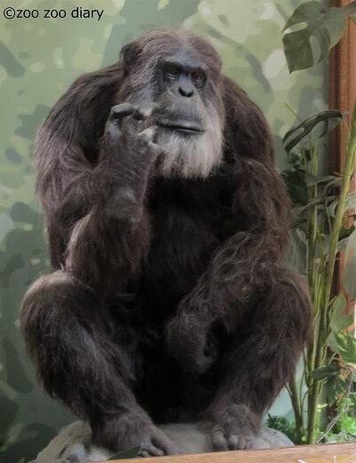 王子動物園 ジョニー チンパンジー