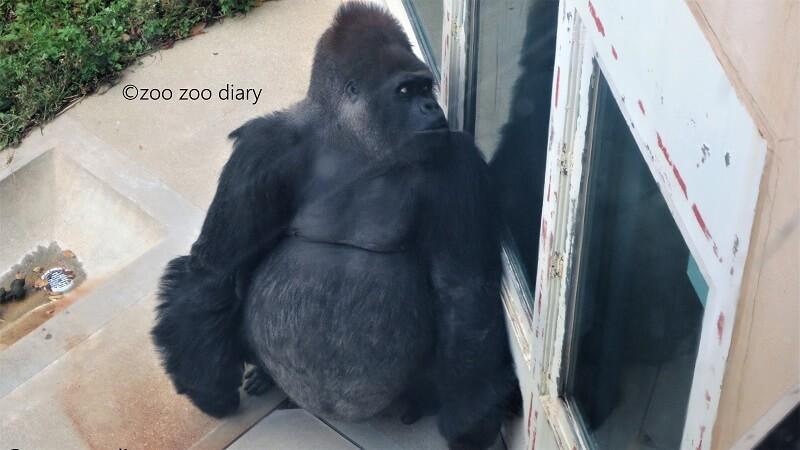 王子動物園 ニシローランドゴリラ ヤマト