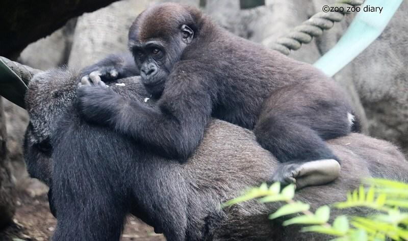 上野動物園 ゴリラの親子