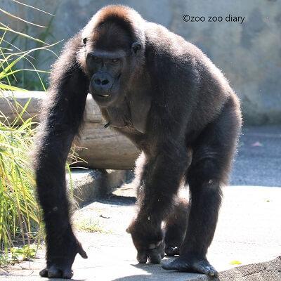 東山動植物園 ゴリラ