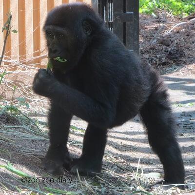 京都市動物園 ゴリラ ゲンタロウ