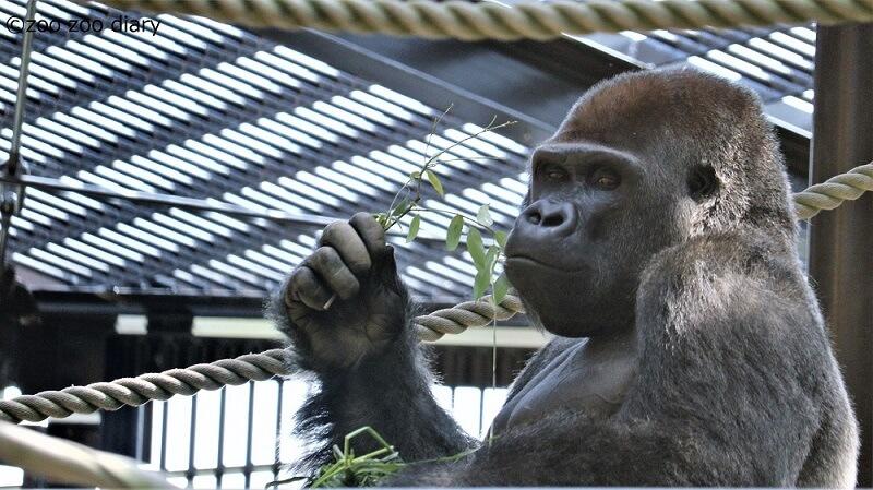 京都市動物園 ゴリラ モモタロウ