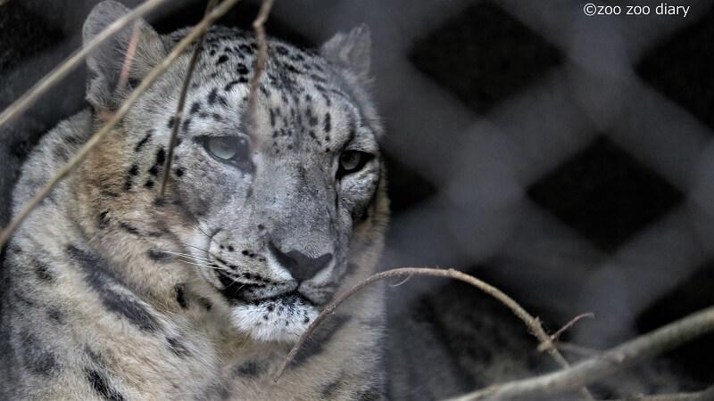 サンディエゴ動物園 ユキヒョウ