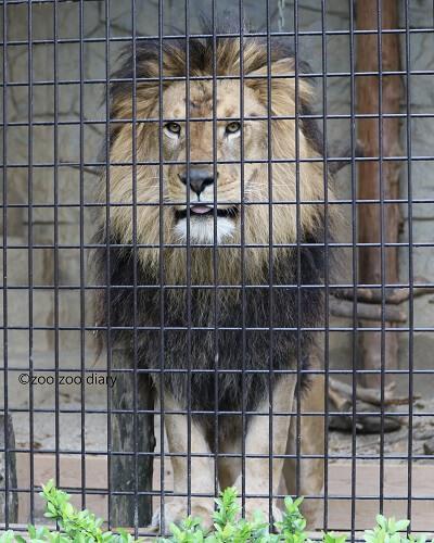 大牟田市動物園 ライオン あさひ