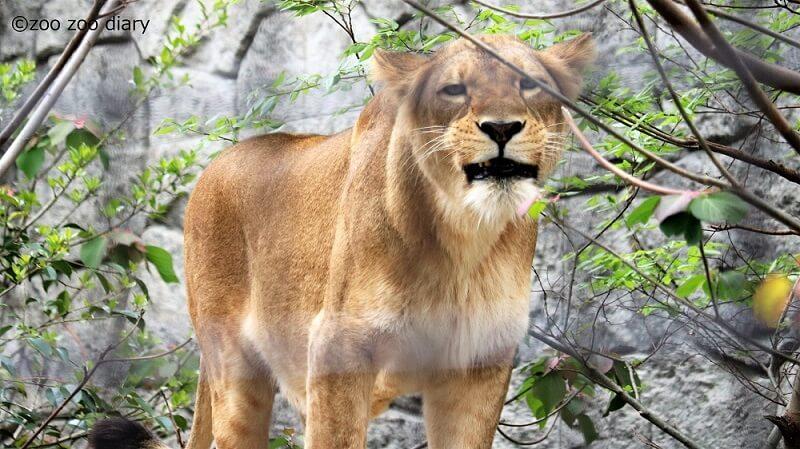 大牟田市動物園 ライオン リラ