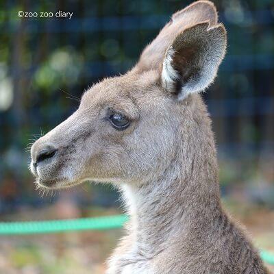大牟田市動物園 カンガルー