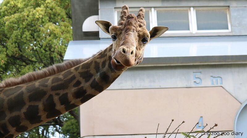 大牟田市動物園 キリン リン