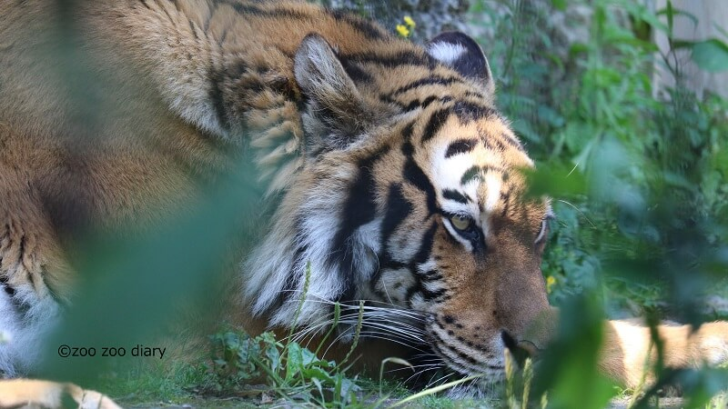 平川動物公園 ベンガルトラ ベル