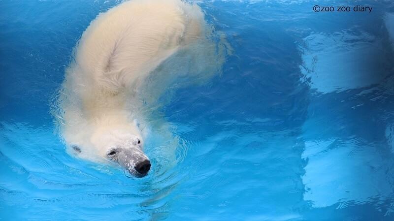 熊本市動植物園 ホッキョクグマ