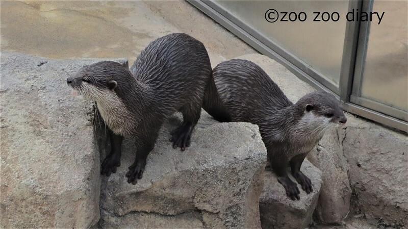 天王寺動物園 カワウソ