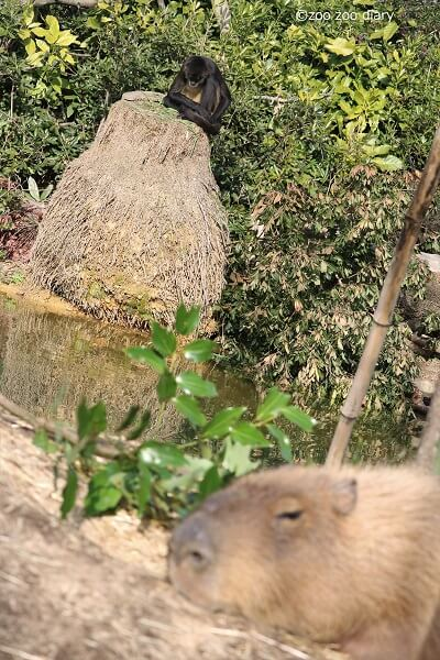 ときわ動物園 クモザルとカピバラ
