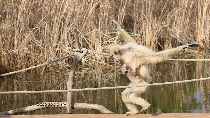 ときわ動物園 シロテテナガザル