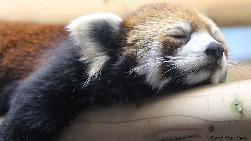 福岡市動物園 レッサーパンダ
