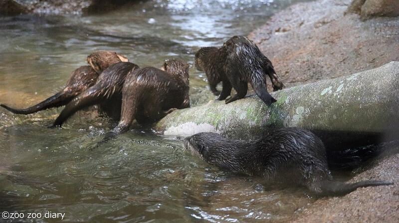 福岡市動物園 コツメカワウソ